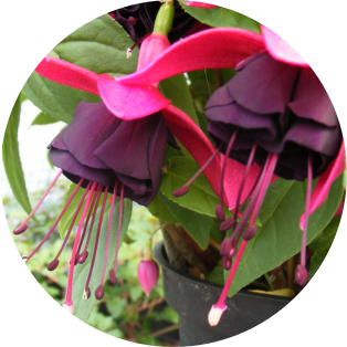 Fuchsia Cultivation