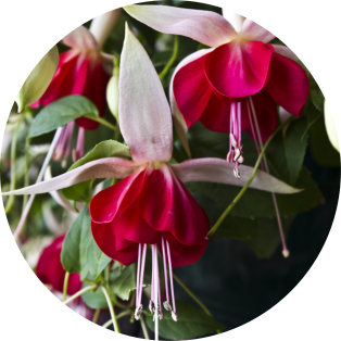 Bonsai Fuchsias