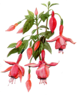 Woodmoss Fuchsia Nursery Click for 2015 Catalogue in PDF format