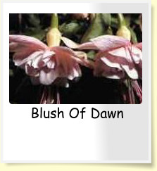 Blush Of Dawn